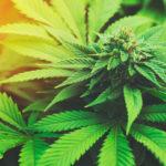 marijuana plants are part of any new marijuana business