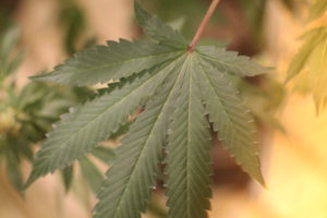 photo of a marijuana leaf illustrating communication for cannabis