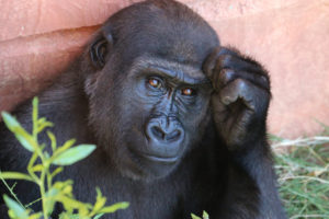 an image of a gorilla