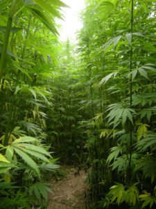 hemp plants which are about to become legal across the US