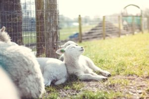 sheep sleeping in a meadow, they don't use cannabis for sleep!