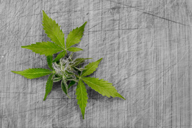 a cannabis leaf used to illustrate cannabis news